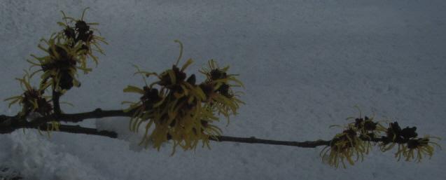 Hamamelis blühlt im Schne am 7.2.2013 in Freiburg