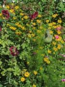 Blumen Sonnenhut am 8.8.2012