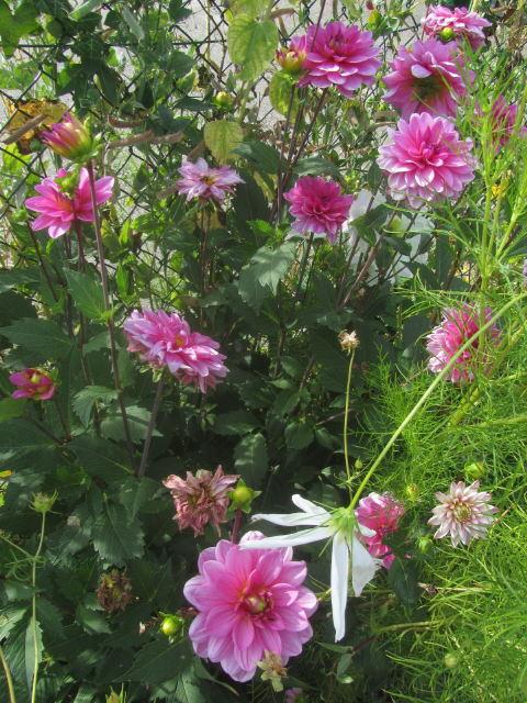 Dahlien rosa am 8.8.2012
