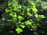 Feige in der Abwendsonne 22.6.2012: Eine Frucht und viele Blätter
