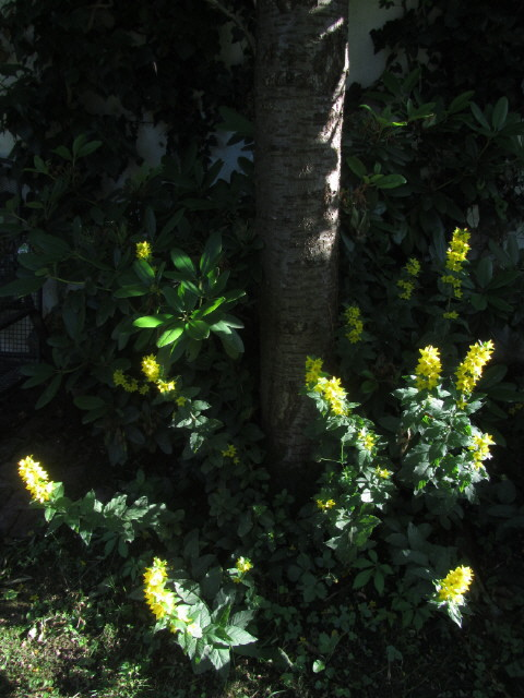 Felberich am Kirschbaum in der Abwendsonne 22.6.2012