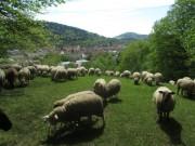 Schafe am Hirzberg 29.4.2012: Blick nach Südwesten bei 30 Grad