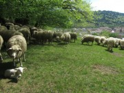 Schafe am Hirzberg 29.4.2012: 4 Tage altes Laemmchen