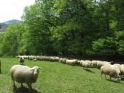 Schafe am Hirzberg 29.4.2012: Schafe lieben den schattigen Waldrand