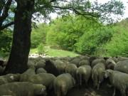 Schafe am Hirzberg 29.4.2012: im Schatten