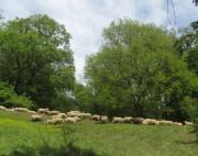 Schafe am Hirzberg 29.4.2012: Über 30 Grad um 14 Uhr