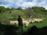 Schafe am Hirzberg 29.4.2012: Schäfer Norbert Schwarz aus Kappel