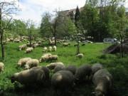 Schafe am Hirzberg 29.4.2012: Blick nach Süden zum Altersheim