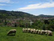 Schafe am Hirzberg 29.4.2012: Blick nach Südwesten über die Wiehre zum Schoenberg