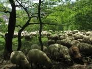Schafe am Hirzberg 29.4.2012: Unter schattigen Baeumen