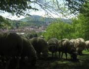 Schafe am Hirzberg 29.4.2012: Blick auf Freiburg