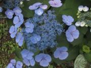 Hoertensie am 8.7.2012 - blau