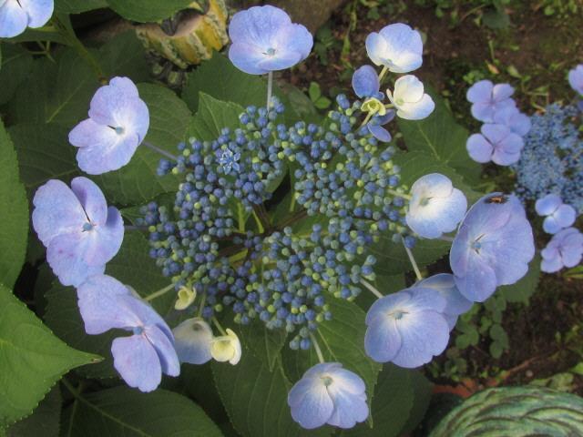 Hoertensie am 8.7.2012 - blau filigran