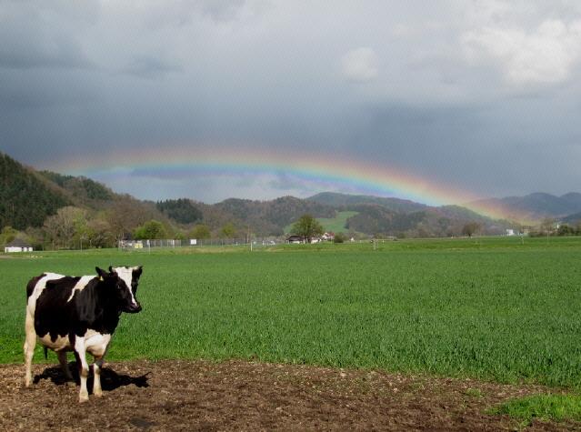 Küferhof am 21.4.2012: Kuh mit Regenbogen