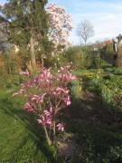 magnolie140324