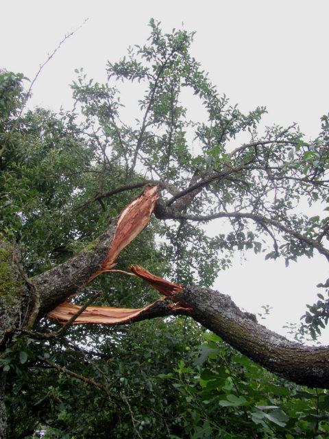 Sturm am 7.7.2012 - zu stark fuer den Mirabellenbaum