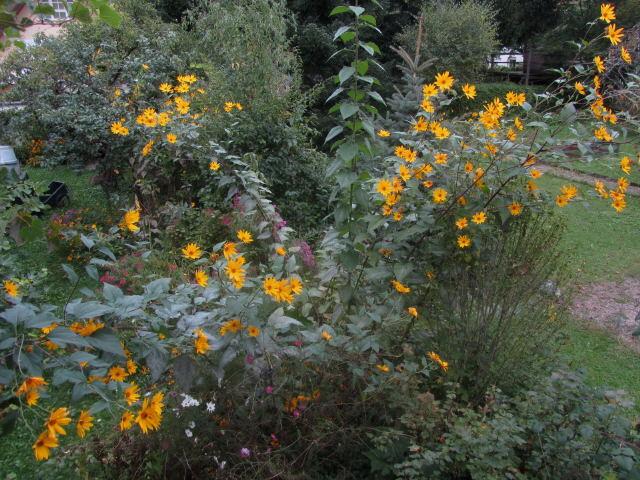 Topinambur am 28.9.2012 - gelbe Blüten - 4 m hoch