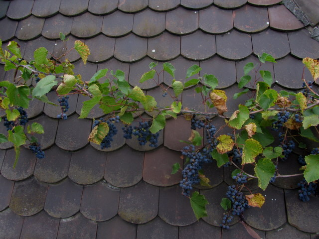 Trauben auf dem Dach am 28.9.2012