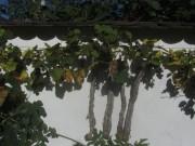 Gartenmauer am 19.10.2012 - Trauben und Feigen