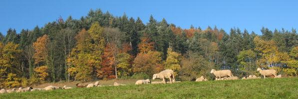 Blick nach Westen zum Berglehof am Beginn des Kapplertals am 3.11.2007 - friedliche Schafe
