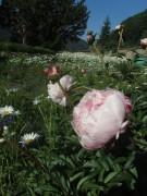 Garten an der Kirche FR-Ebnet am 27.5.2012: Pfingstrosen