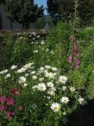 Garten an der Kirche FR-Ebnet am 27.5.2012: Fingerhut
