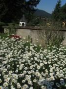 Garten an der Kirche FR-Ebnet am 27.5.2012: Margeriten