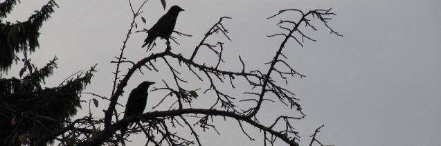 Krähen am 26.8.2013 auf einem abgestorbenen Kirschbaum