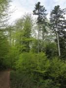 Streckereck am 1.5.2012: Buchenwald oberhalb Foehrental