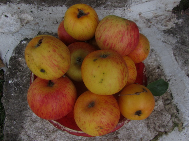 Reife Äpfel am 22.8.2012 - wurmstichig und fleckig