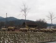 Schafe auf dem ERdwall am Littenweiler Bahnhof am 18.2.2012