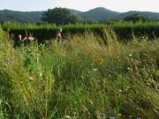 Blumenwiese am 28.7.2012 - im Verblühen