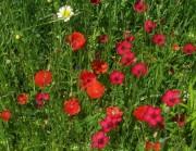 Blumenwiese am 17.6.2012 - Klatschmohn