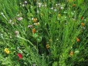 Blumenwiese am 10.6.2012: Eine Mohn als roter Tupfer