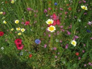 Blumenwiese am 24.6.2012