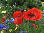 Blumenwiese am 21.6.2012 - zweimal Mohn, zweimal Rot