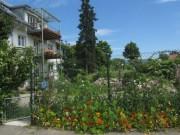Blumenwiese am 21.6.2012 - Kapuzinerkresse am Zaun