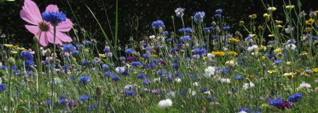 Blumenwiese am 29.6.2012