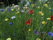 Blumenwiese am 17.6.2012 - Kornblumen