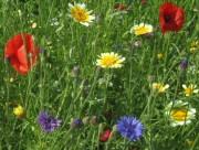 Blumenwiese am 17.6.2012 - rot, gelb und blau