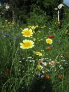 Blumenwiese am 17.6.2012 - dreimal Gelb