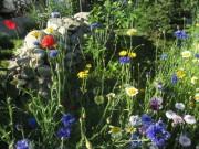 Blumen am 22.6.2012 - Kornblumen