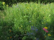 Blumenwiese am 17.6.2012