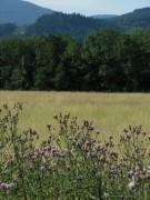 Disteln zwischen Ebnet und Zarten am 24.6.2012 - Blick Richtung Kapplertal