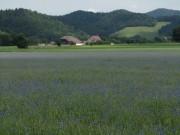 Kornblumen am 7.6.2012: Schatten überm Feld
