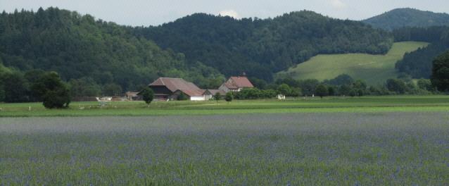 Blick über ein blau blühendes Meer von Kornblumen zum Breitehof am 7.6.2012 im Dreisamtal