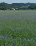 Kornblumen am 7.6.2012: Blick nach Norden zum Breitehof