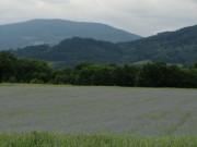 Kornblumen am 7.6.2012: Blick nach Südosten zum Winterberg ob Oberried