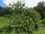 Kartausgarten 11.7.2012 - Klarapfelbaum