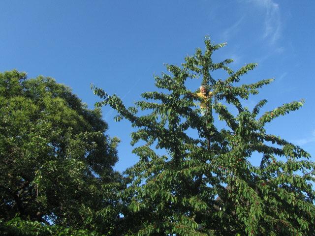 Kirschen reif am 8.6.2012 - Esskastanie erst vor der Blüte